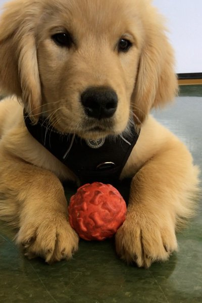 Puppy dog playing with a ball at a pet friendly hotel