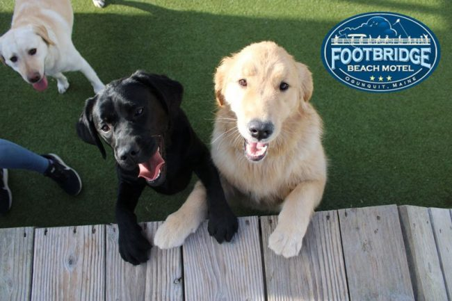 black lab and golden retriever happily playing together at the dog park in Ogunquit, Maine
